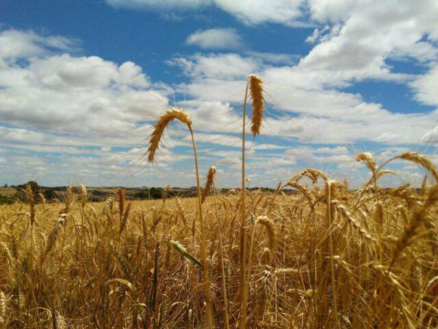 Primeira colheita de trigo no Ceará